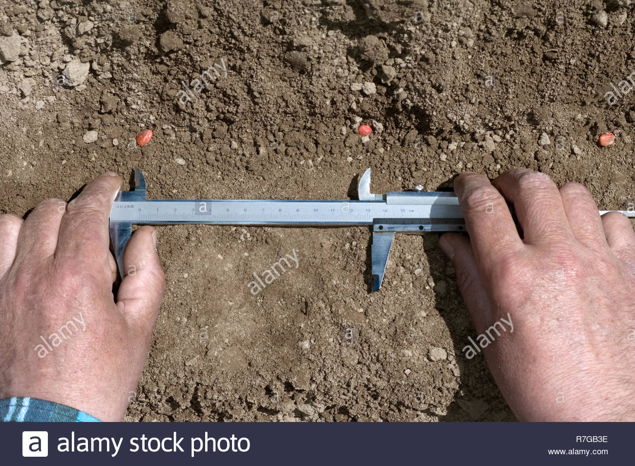 Farmer takes control sowing of corn by calliper. - Stock Image