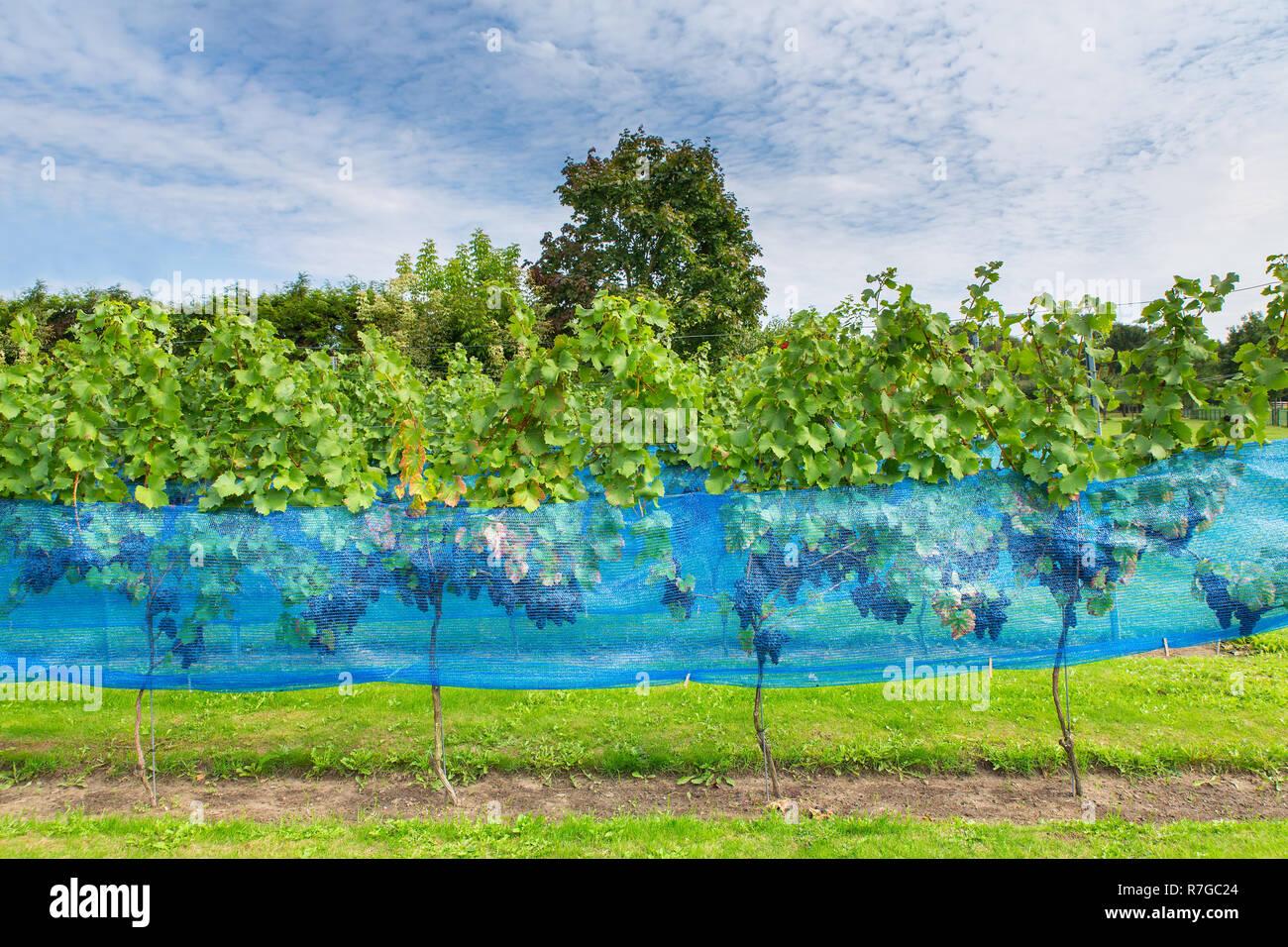 Bird Protection Net Grape Stock Photos & Bird Protection Net