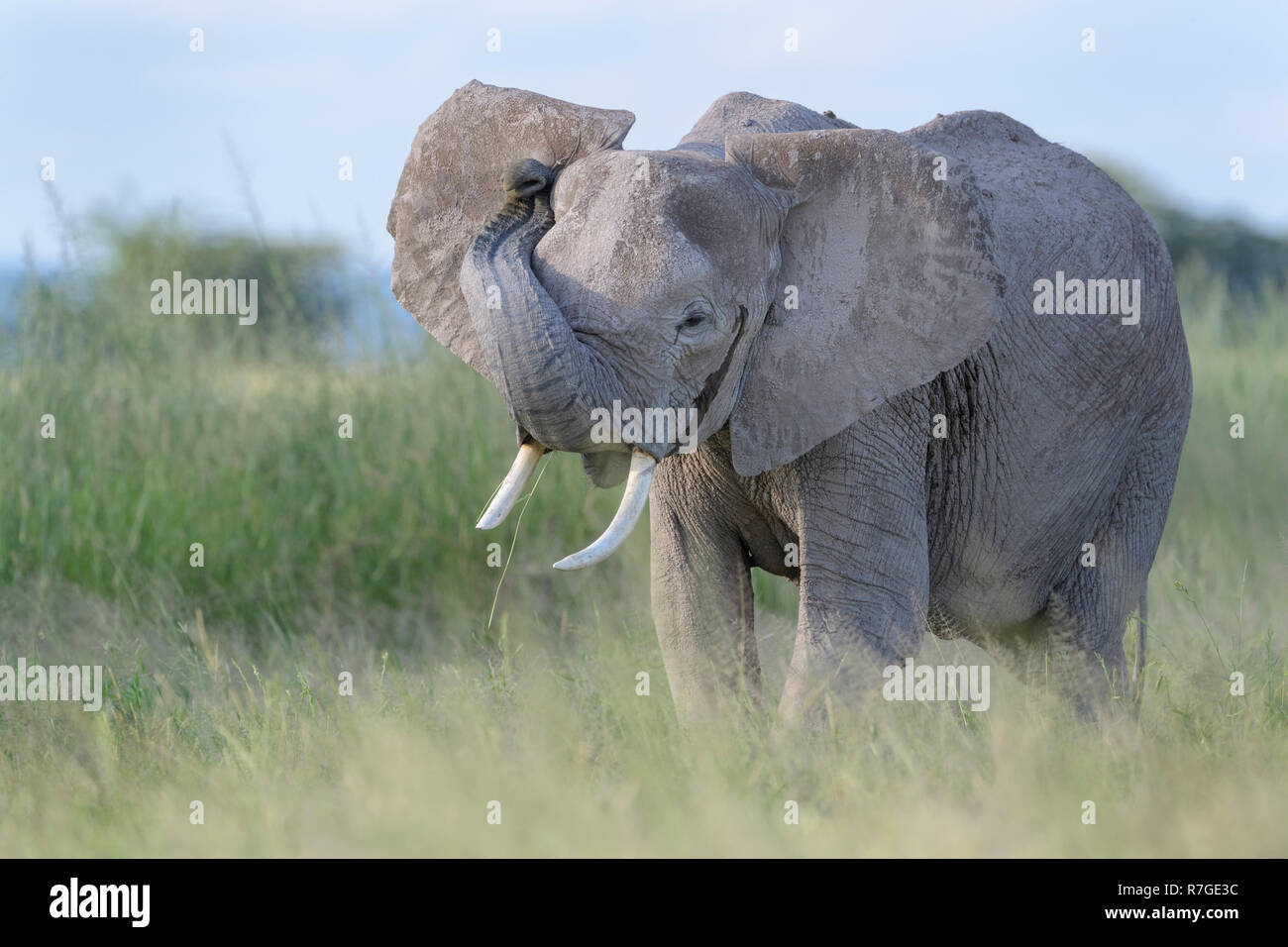 Young African elephant (Loxodonta africana) standing in grassland, close by, smelling at photographer, Amboseli national park, Kenya. - Stock Image