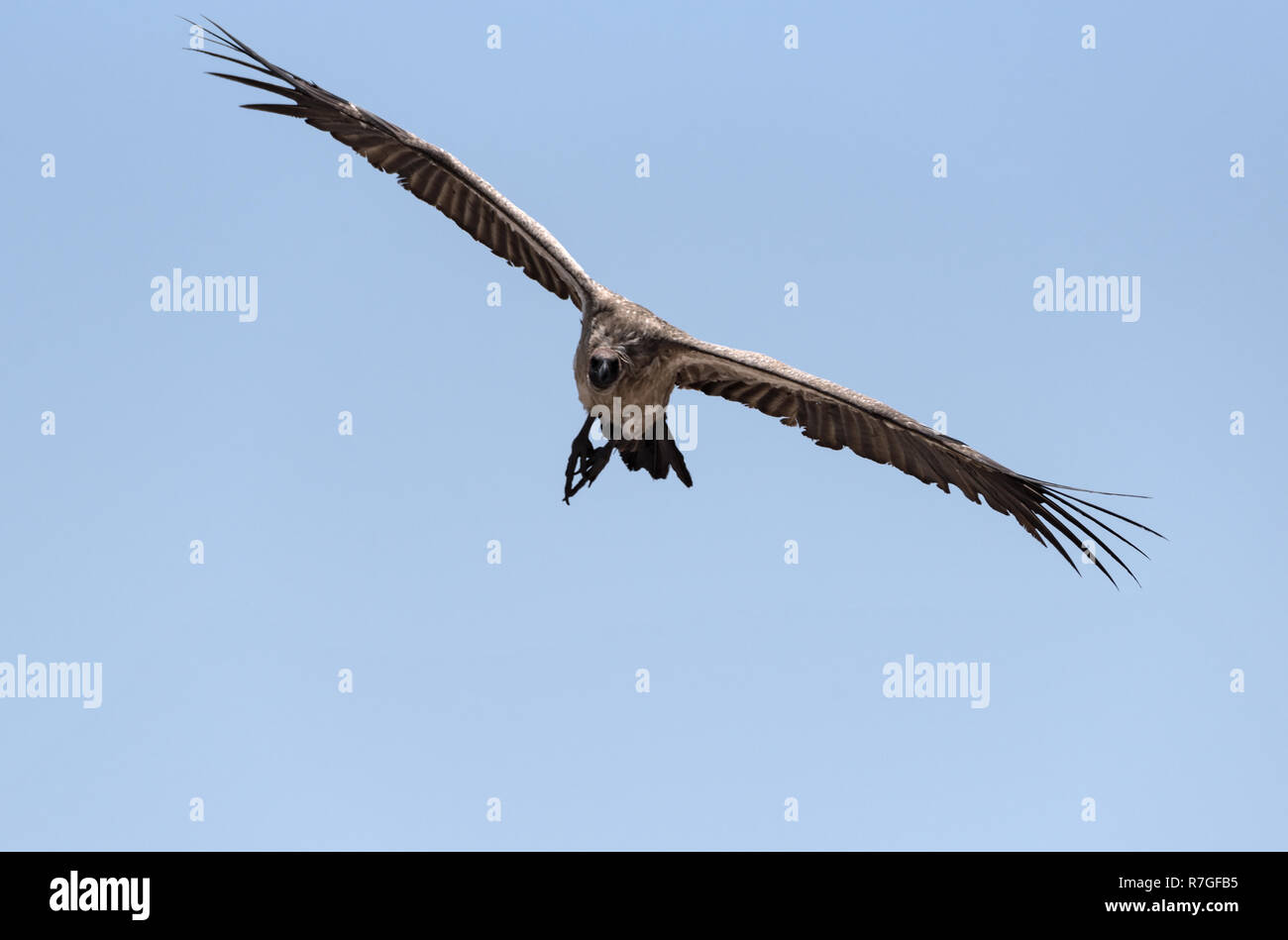 a white-backed vulture in flight, botswana, africa - Stock Image