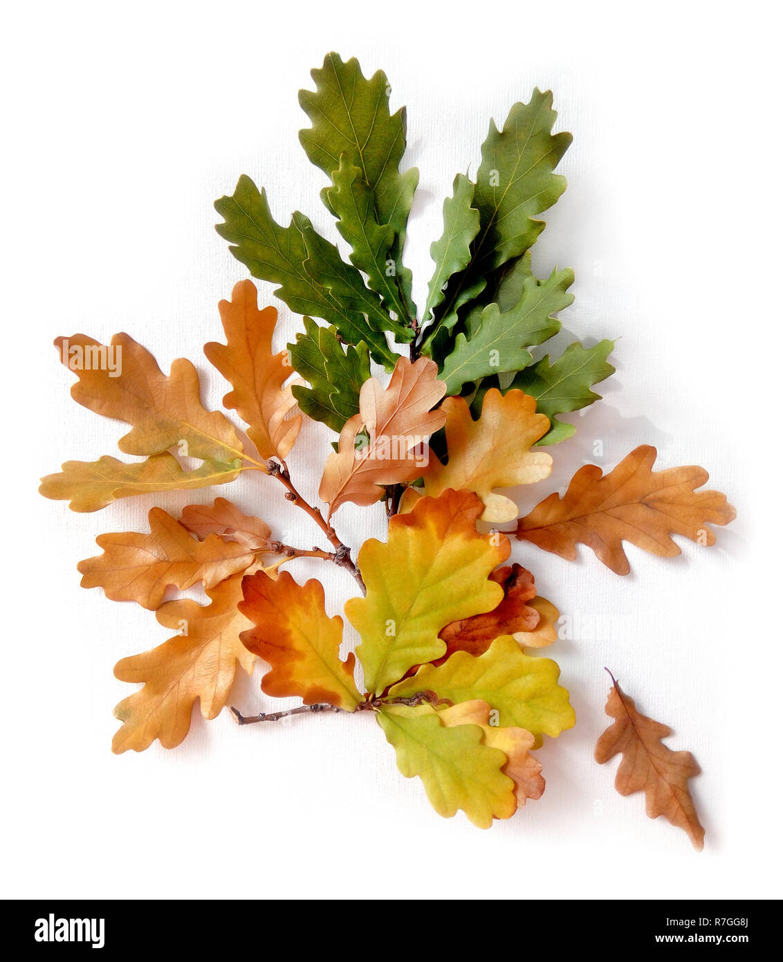 Autumn composition. Oak  leaves on white isolated  background. Autumn, fall concept. Flat lay, top view autumn bouquet. Stock Photo