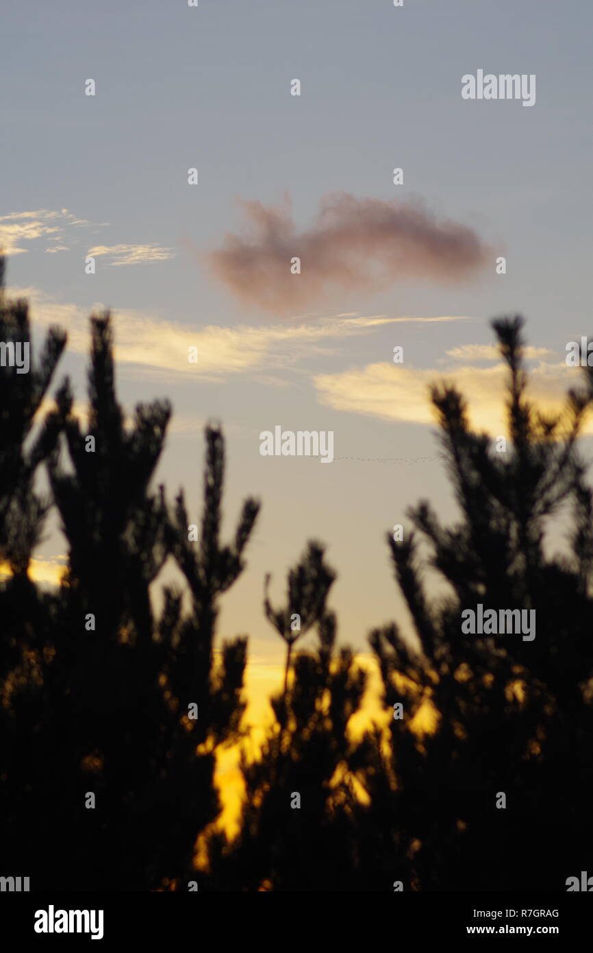 Silhouetted Norway Spruce (Picea abies) at Sunset on Broad Hill. Aberdeen, Scotland, UK. - Stock Image
