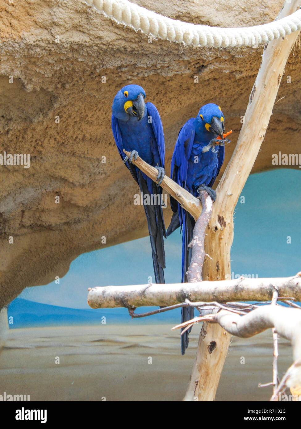 Two hyacinth macaws sitting on branch - Stock Image