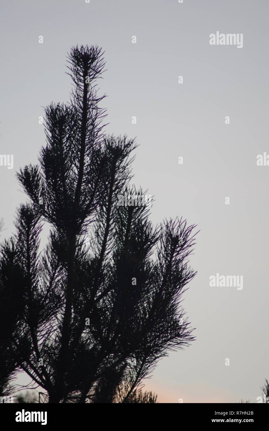 Silhouetted Norway Spruce (Picea abies) at Dusk on Broad Hill. Aberdeen, Scotland, UK. - Stock Image