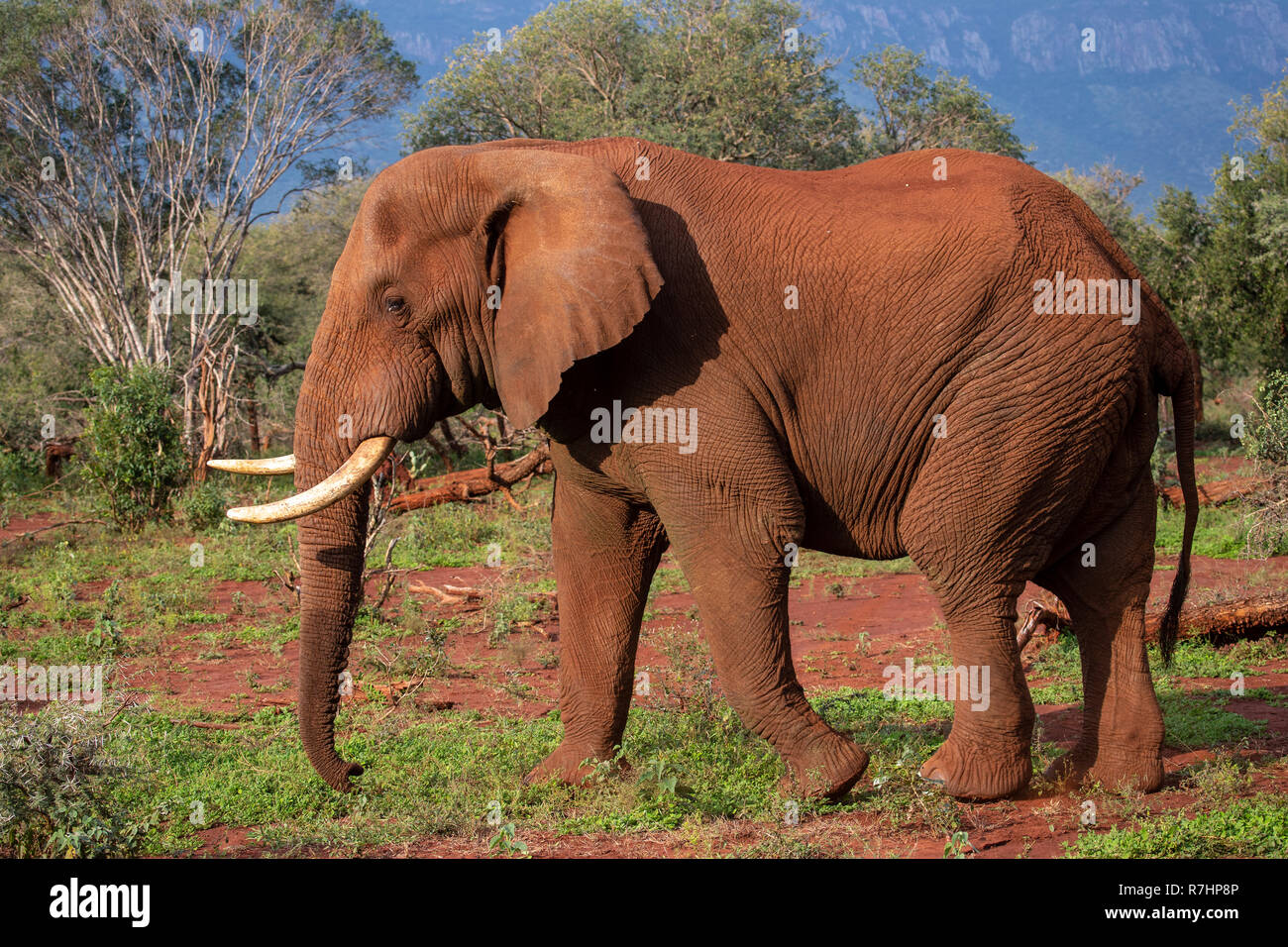African elephant Loxodonta africana close up in profile on the Zimanga private game reserve in South Africa - Stock Image