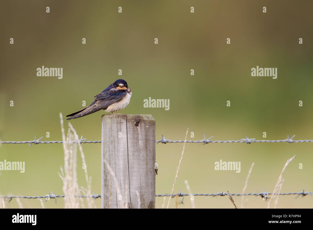 Swallow Hirundo rustica perching in profile on a wooden fence post against a diffuse green background - Stock Image