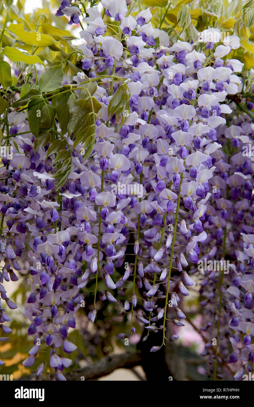 Wisteria in bloom. Close up. - Stock Image