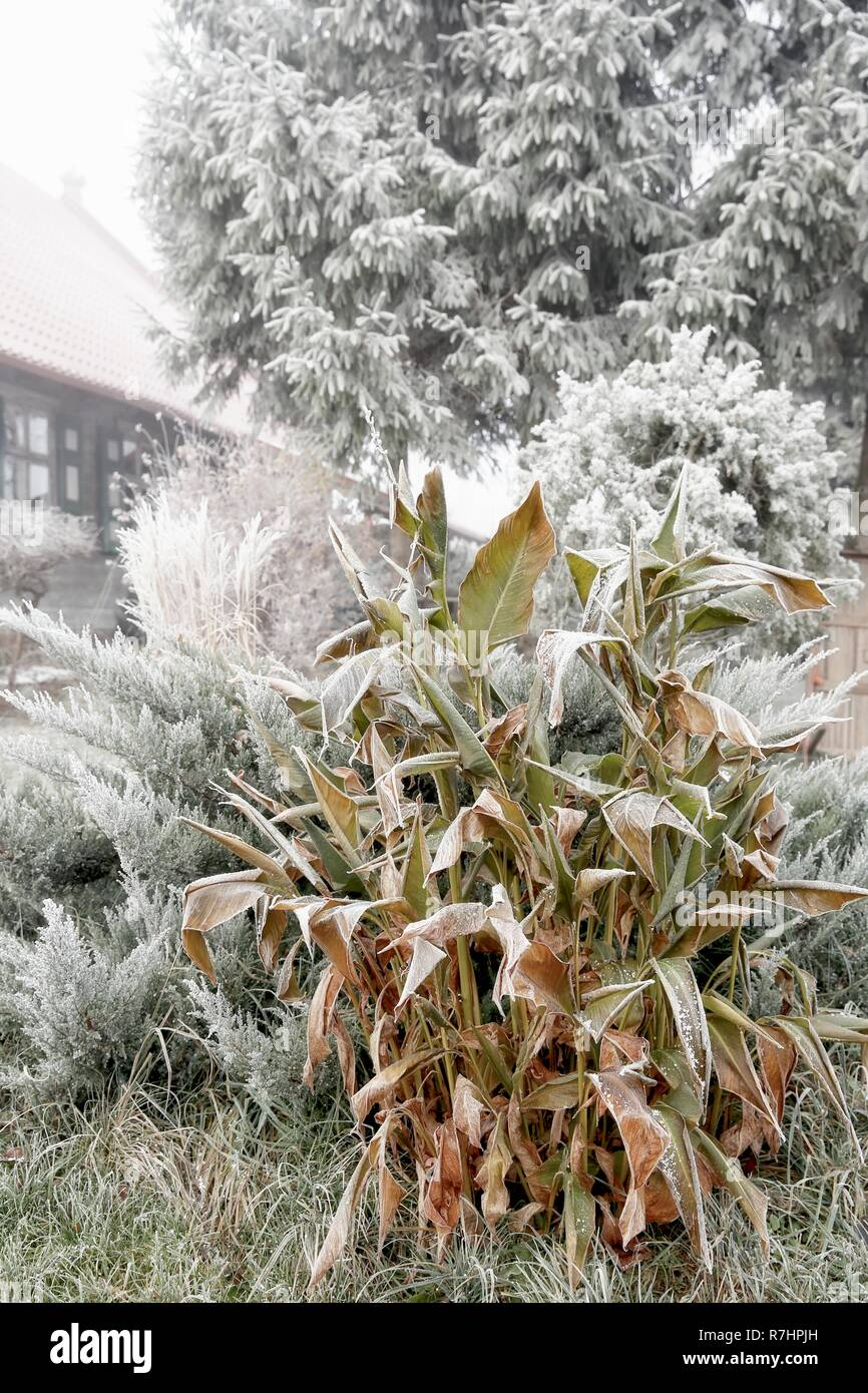 Wonderland in the winter garden with plants covered with hoarfrost. - Stock Image