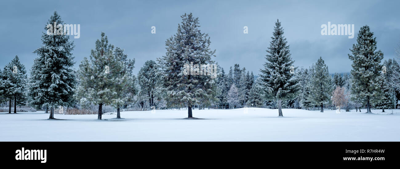 In nature several perfect pine trees with snow on the ground and cool colors of winter - Stock Image