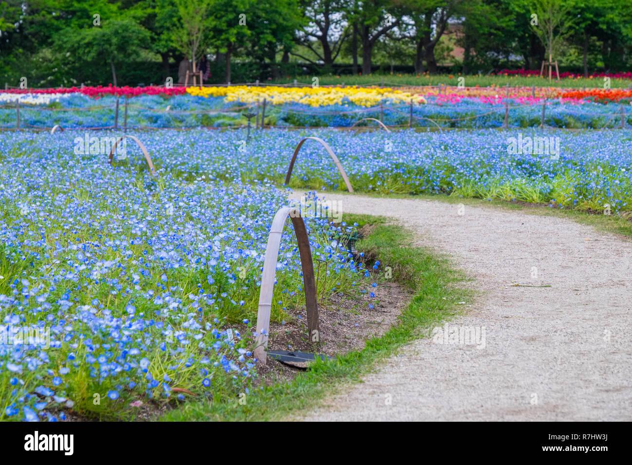 Nemophilia Field In Nabana No Sato A Famous Flower Garden In