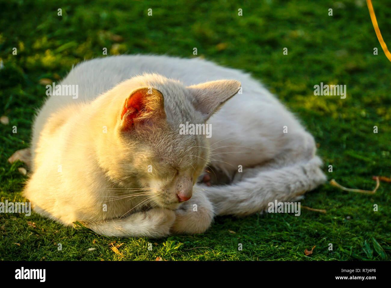 White domestic cat sleeps on green grass - Stock Image