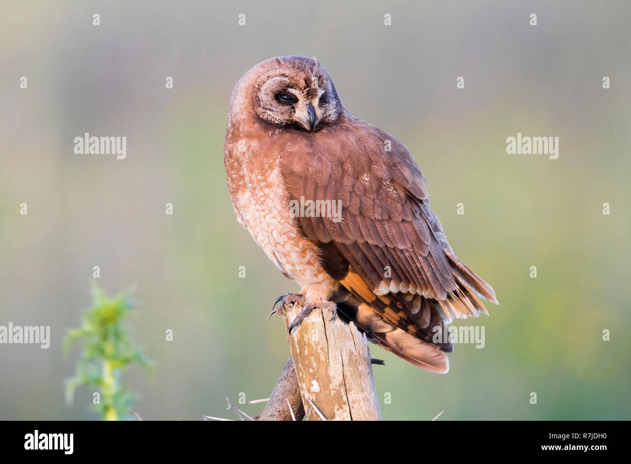 Marsh Owl (Asio capensis tingitanus), adult perched on a post in Morocco - Stock Image