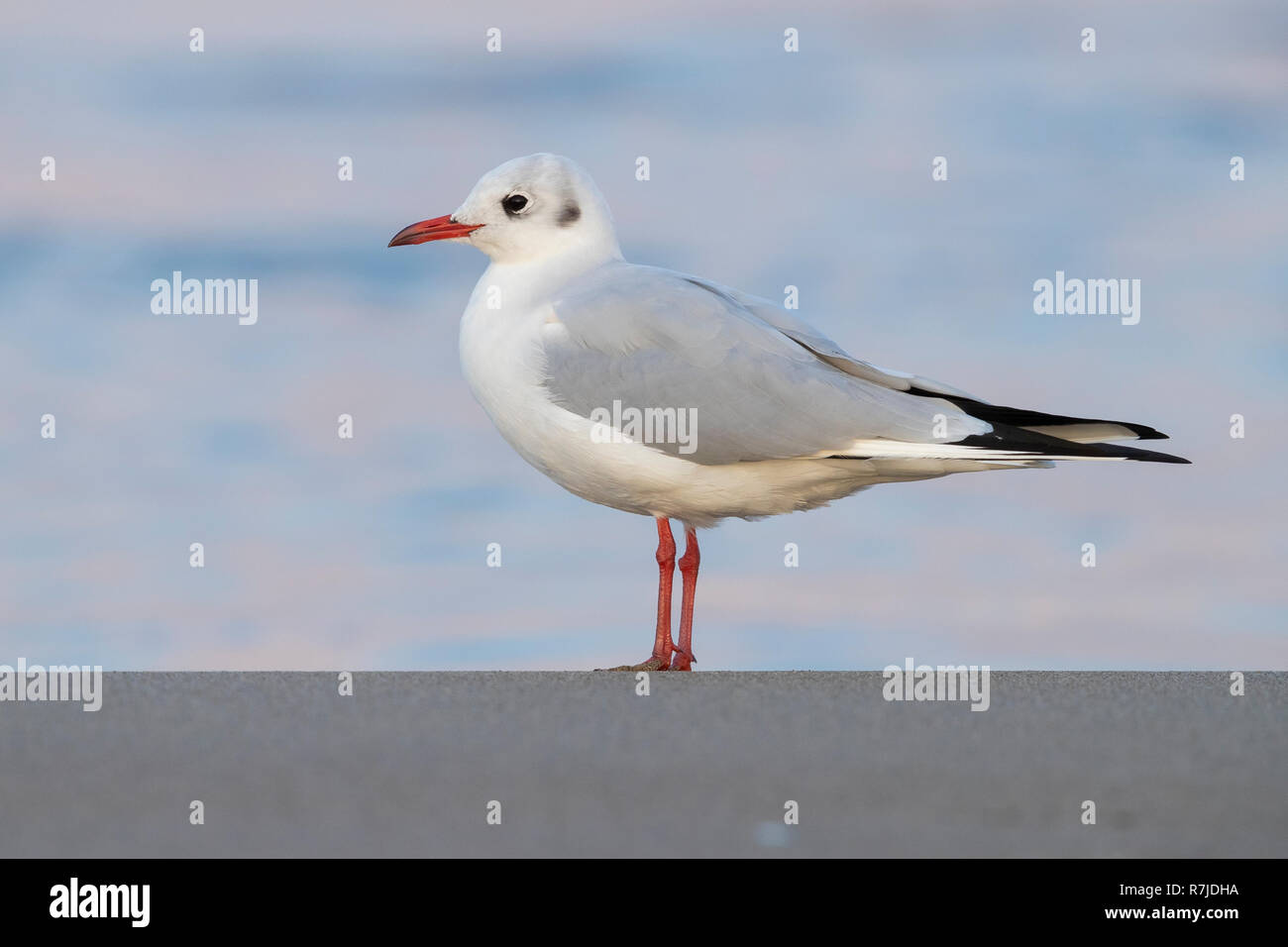 Black-headed Gull (Chroicocephalus ridibundus), side view of an adult in winter plumage standing on the shore - Stock Image
