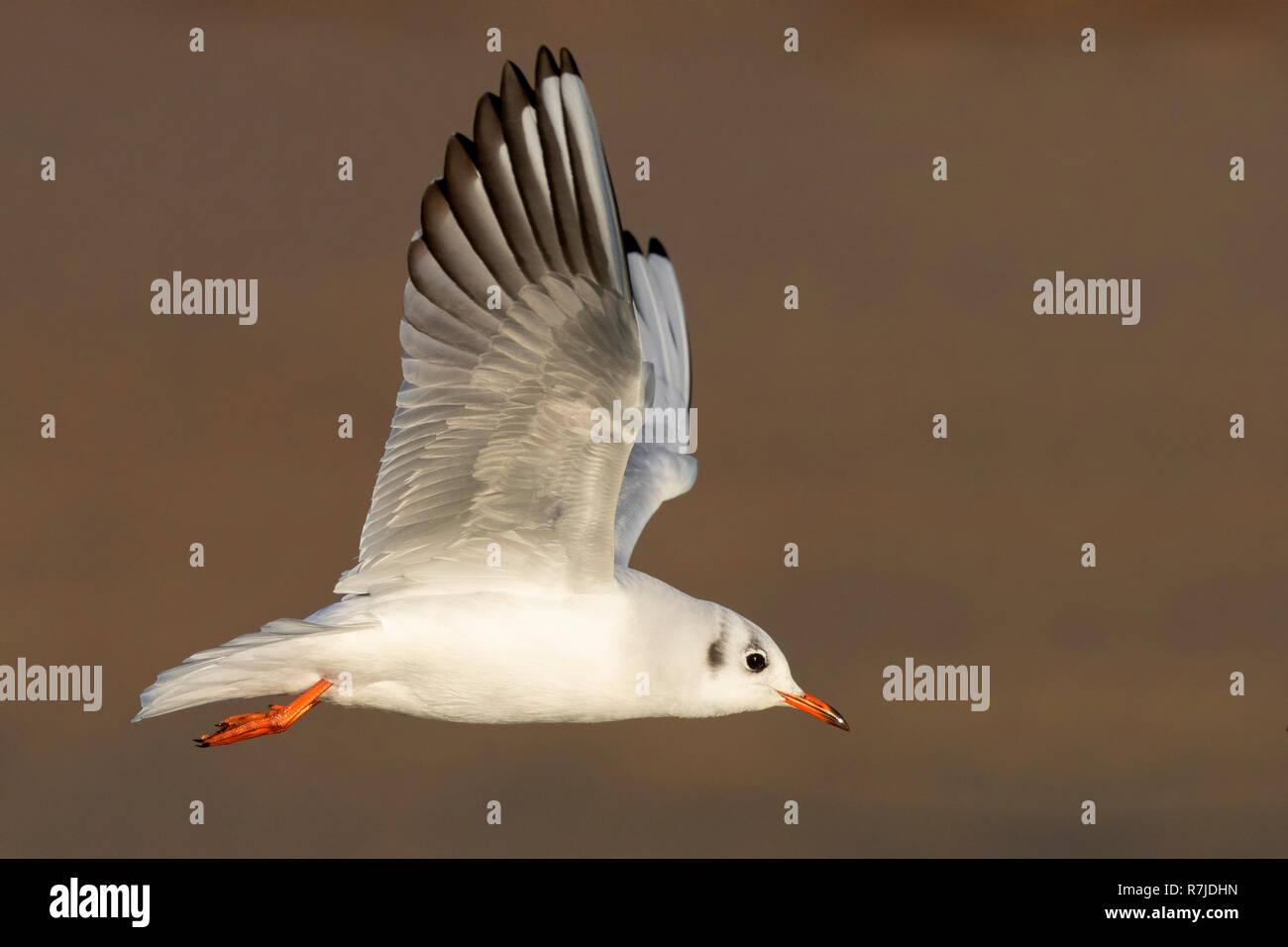 Black-headed Gull (Chroicocephalus ridibundus), side view of an adult in winter plumage in flight Stock Photo