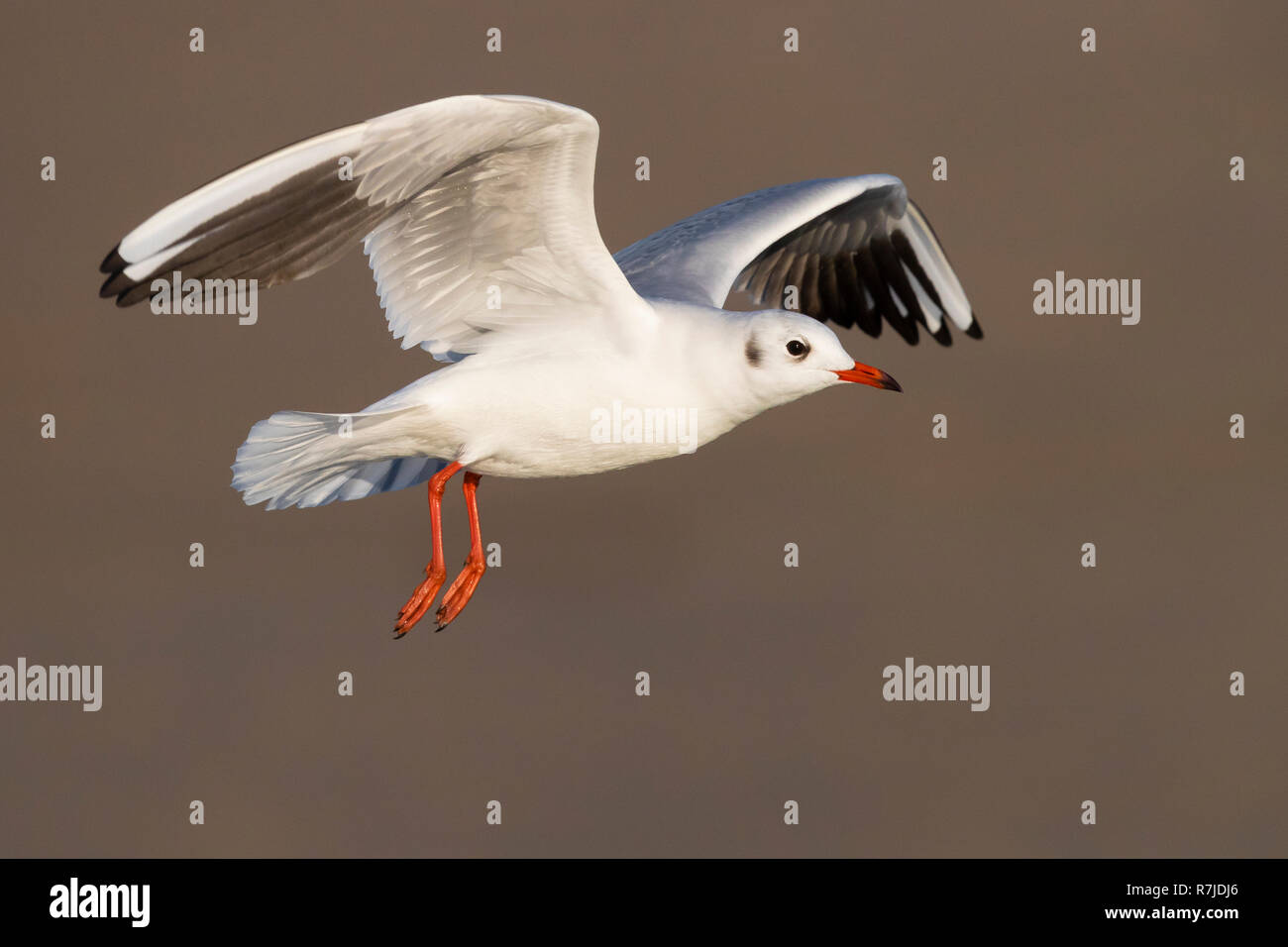 Black-headed Gull (Chroicocephalus ridibundus), adult in winter plumage in flight Stock Photo