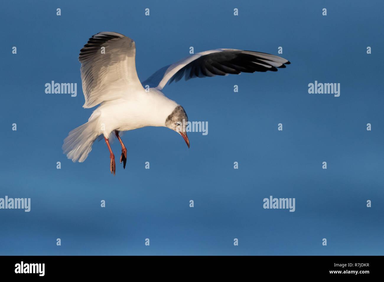 Black-headed Gull (Chroicocephalus ridibundus), adult moulting to summer plumage in flight Stock Photo