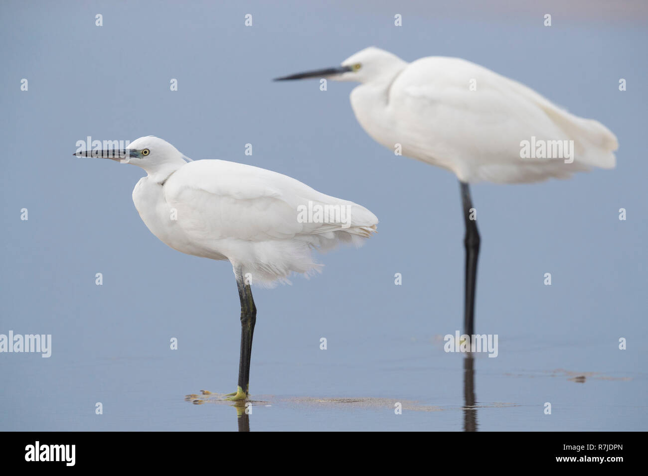 Little Egret (Egretta garzetta), two individuals standing on the shore - Stock Image