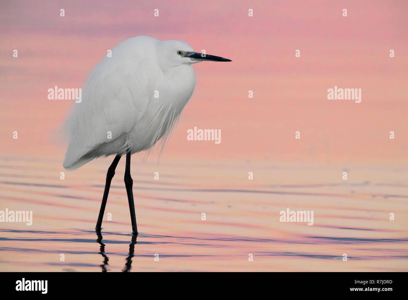 Little Egret (Egretta garzetta), adult in winter plumage standing in the water before the sunrise - Stock Image