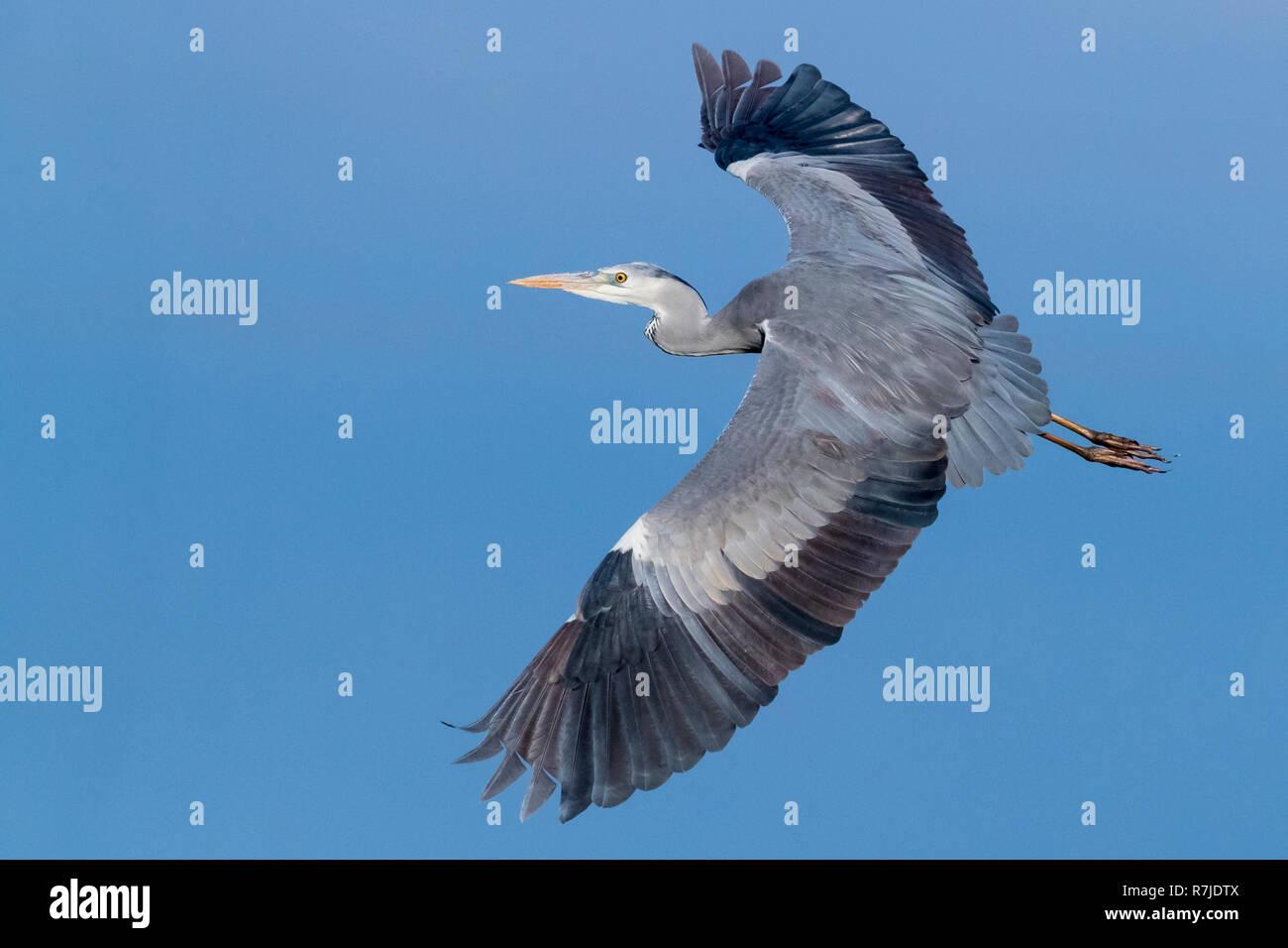 Grey Heron (Ardea cinerea), immature in flight showing upperwings - Stock Image