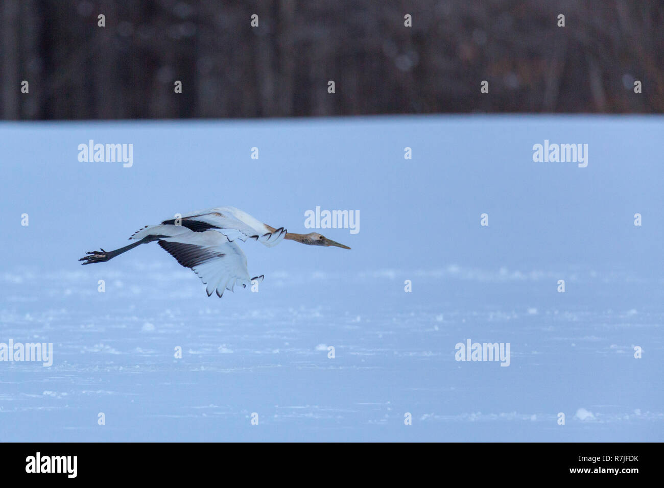 Red-Crowned crane or Grus japonensis or Tancho in Hokkaido Japan during winter migration - Stock Image