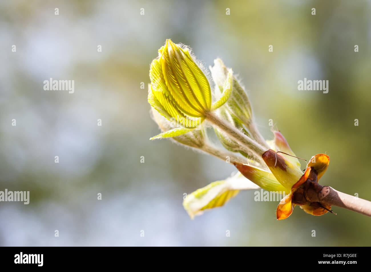 Horse chestnut bud bursting into leaves. Castania tree branch macro view. Shallow depth of field, soft focus background - Stock Image