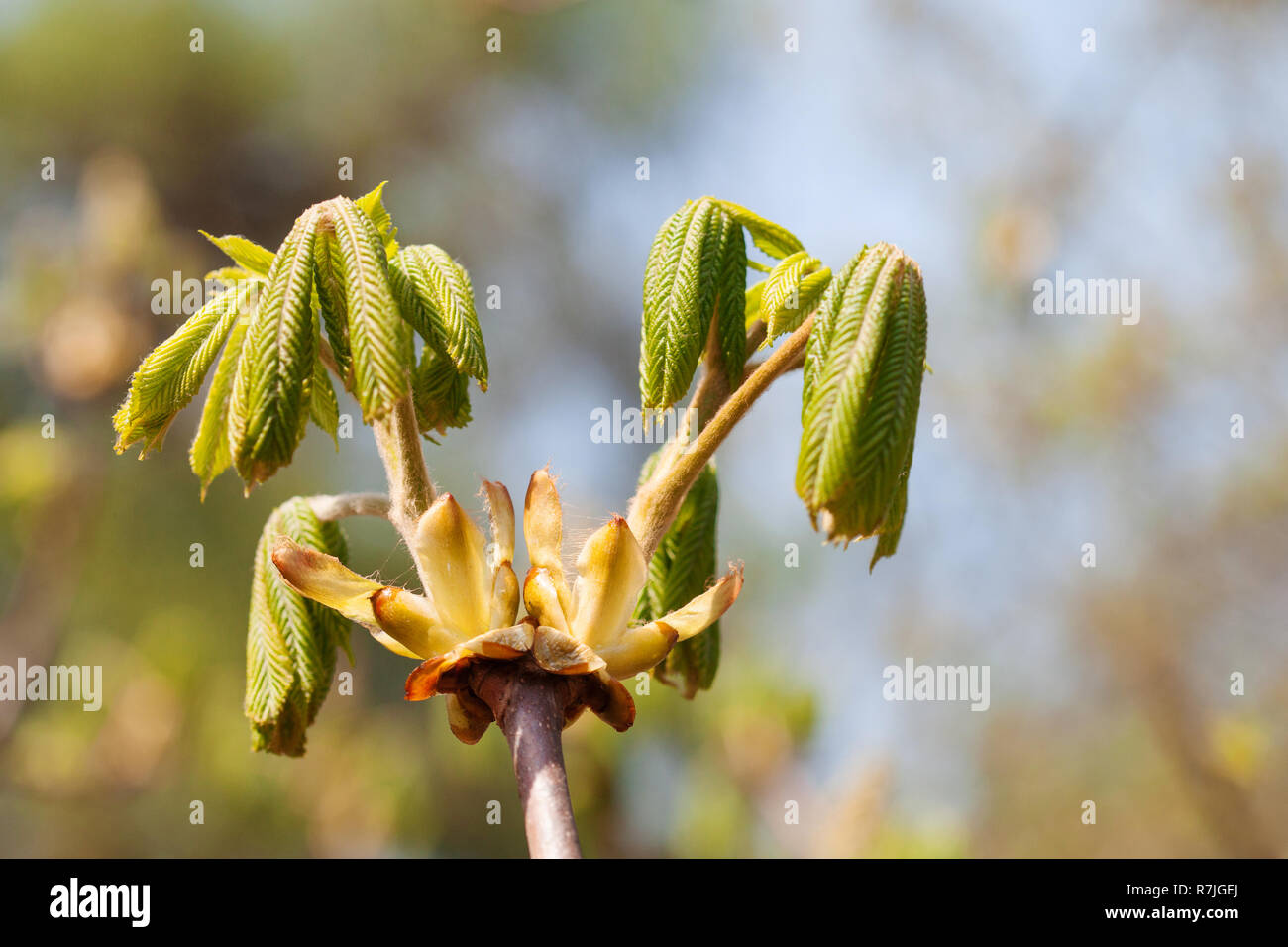 Horse chestnut bud bursting into leaves. Castania tree branch macro view. Beatiful floral spring time background. Shallow depth of field, soft focus background. - Stock Image