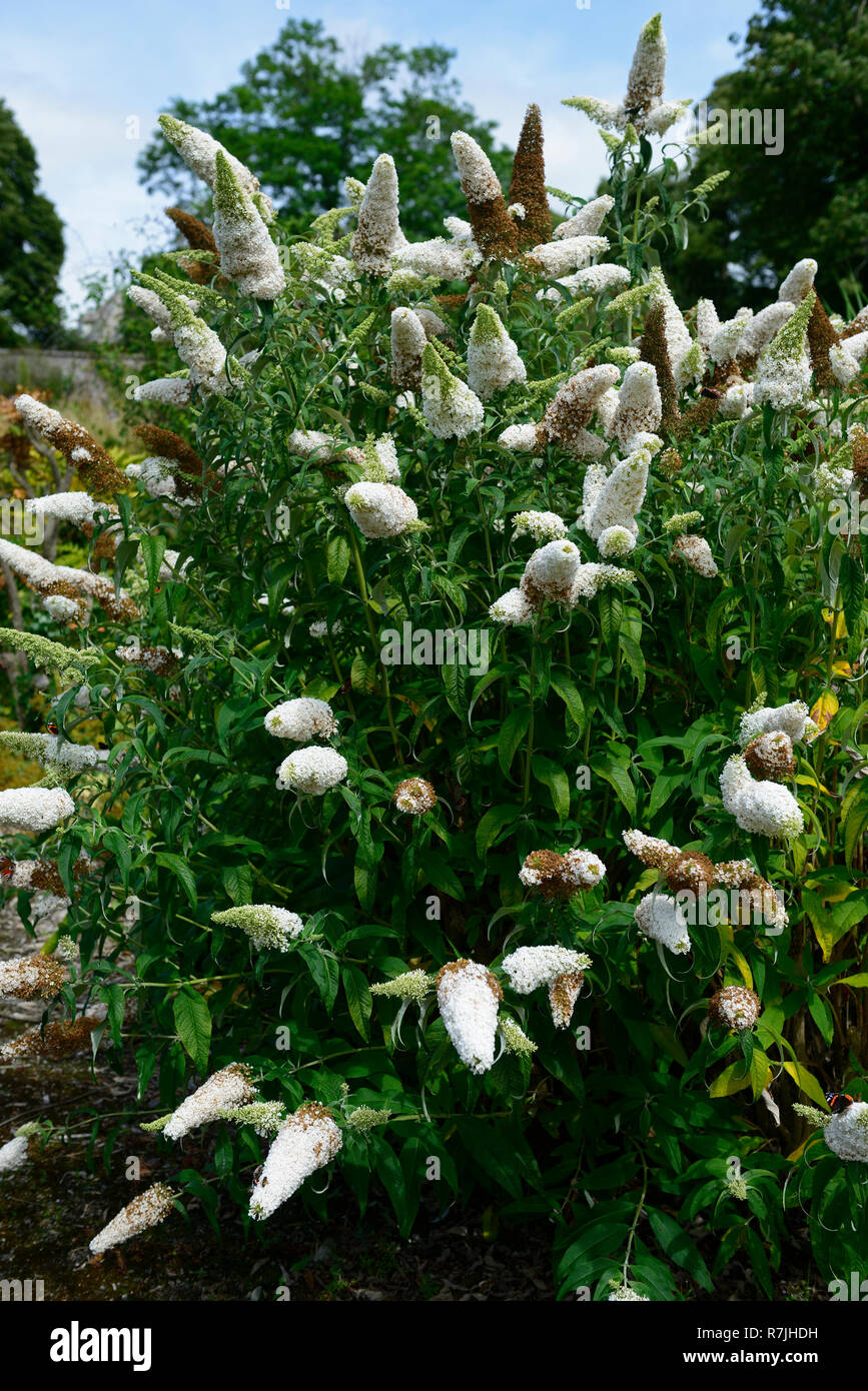 Buddleja davidii White Profusion,butterfly bush,flowers,flower,wildlife,insect friendly,gardening,RM Floral - Stock Image