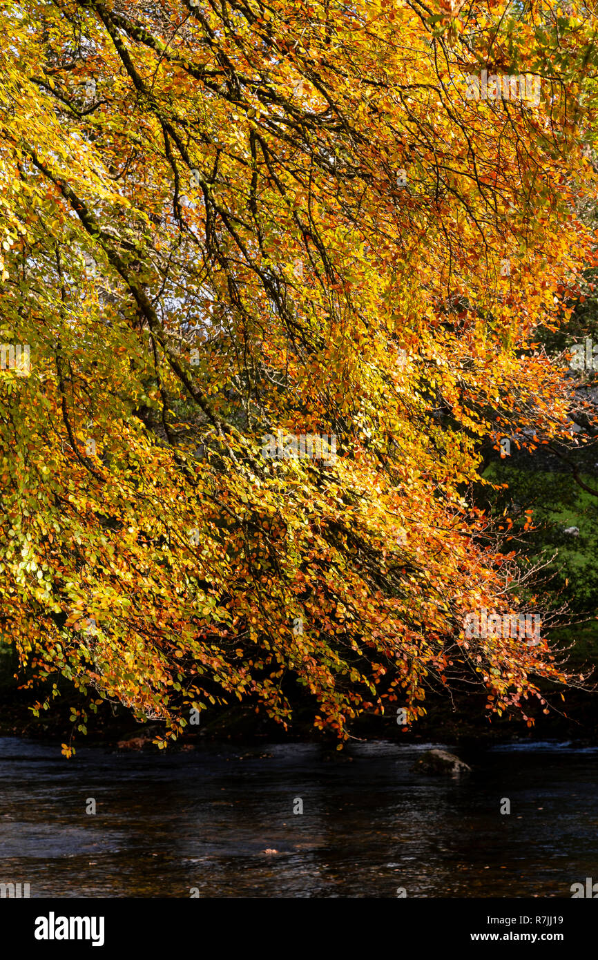 Tree in autumn colours at Betws-y-Coed, Snowdonia National Park, North Wales Stock Photo