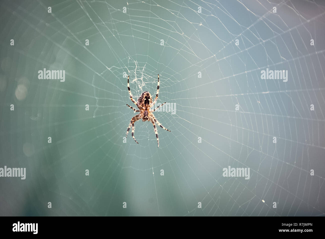 Spider spinning web in nature on blurred blue background. Arachnid, insect, animal. Web construction, design, geometry - Stock Image