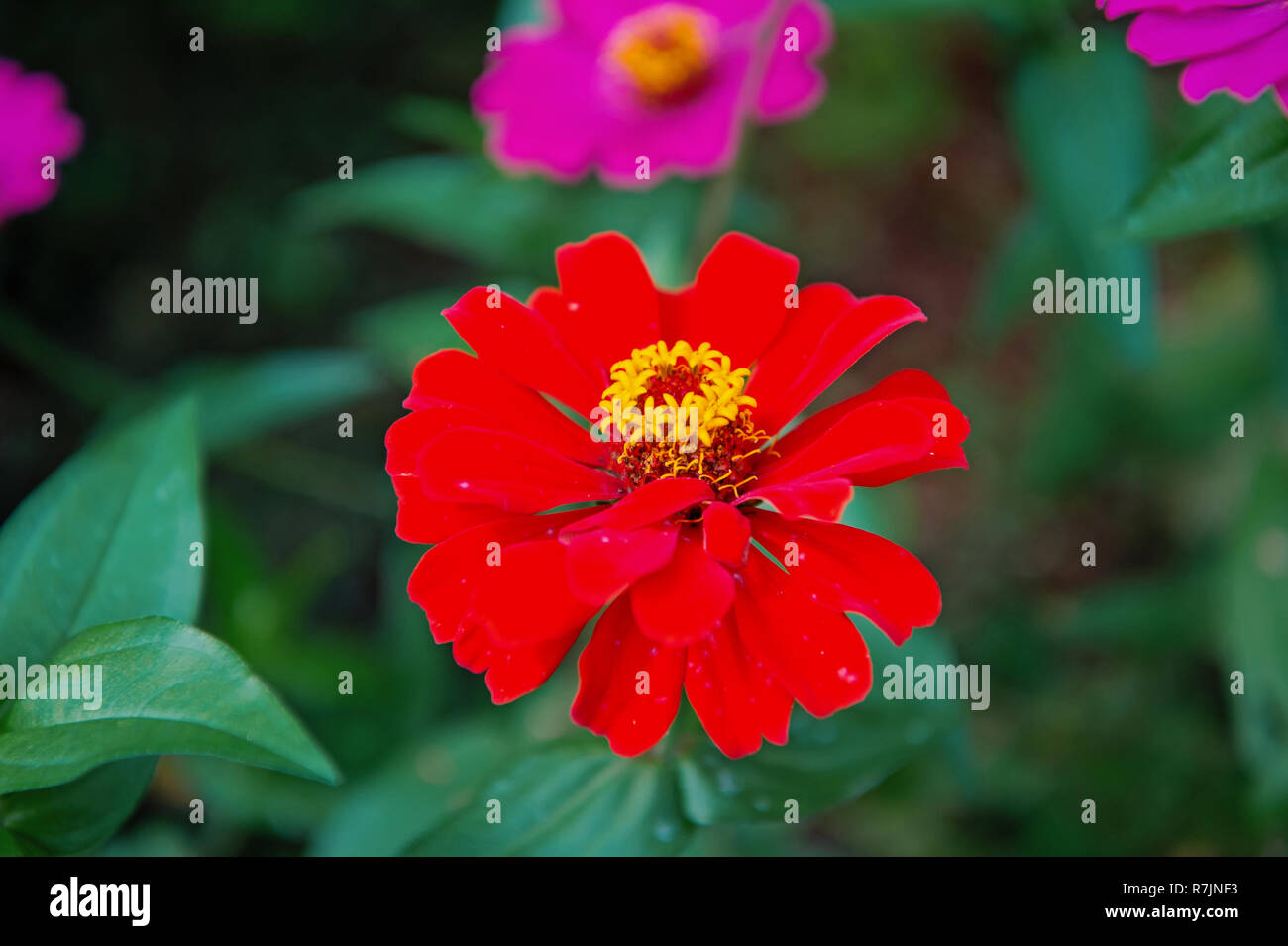 flower red color on blurred green natural background - Stock Image