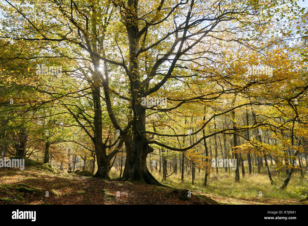 Beech trees in autumn sunshine, Lake District, Keswick, Cumbria, England, UK - Stock Image