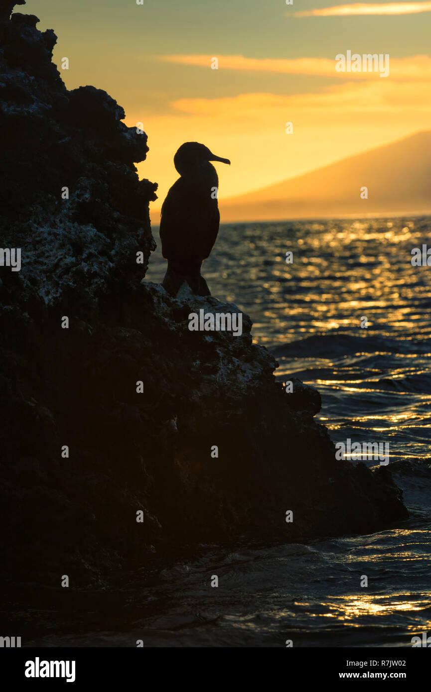 Flightless Cormorant (Phalacrocorax harrisi) at dusk, Elisabeth Bay, Isabela Island, Galapagosinseln, Ecuador - Stock Image