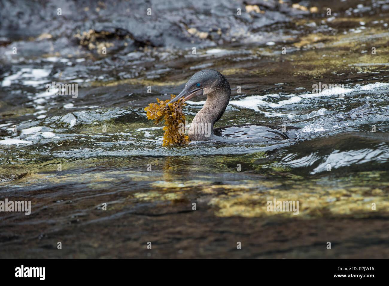 Flightless Cormorant (Phalacrocorax harrisi) carrying nesting material, Tagus Cove, Isabela Island, Galapagosinseln, Ecuador - Stock Image