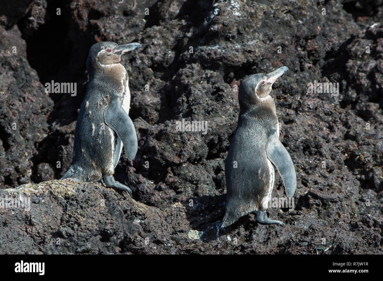 Galapagos Penguins (Spheniscus mendiculus), Insel Isabela, Galapagosinseln, Ecuador - Stock Image