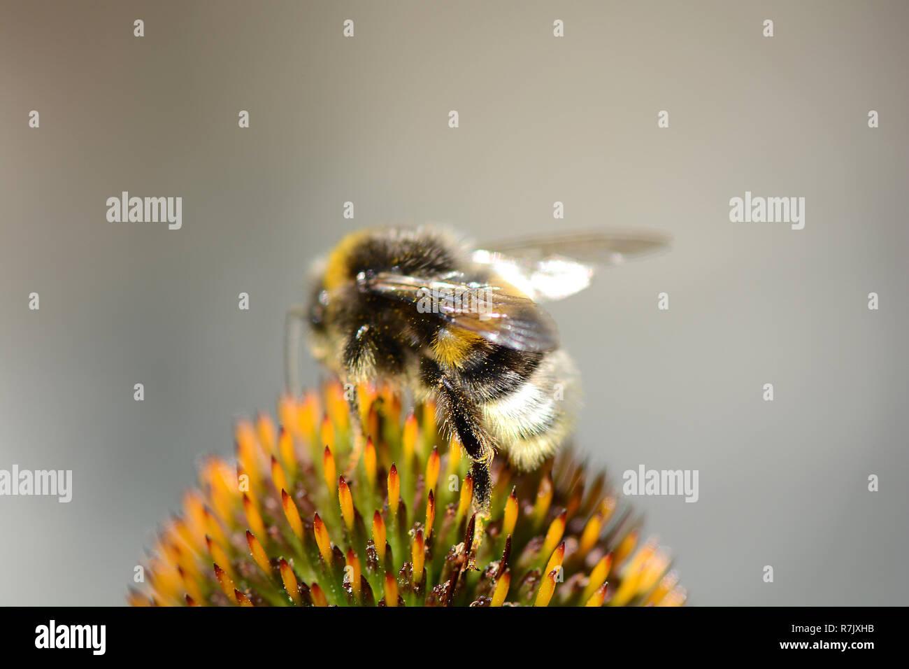Deep Focus of Working Honey Bee. Close up - Stock Image