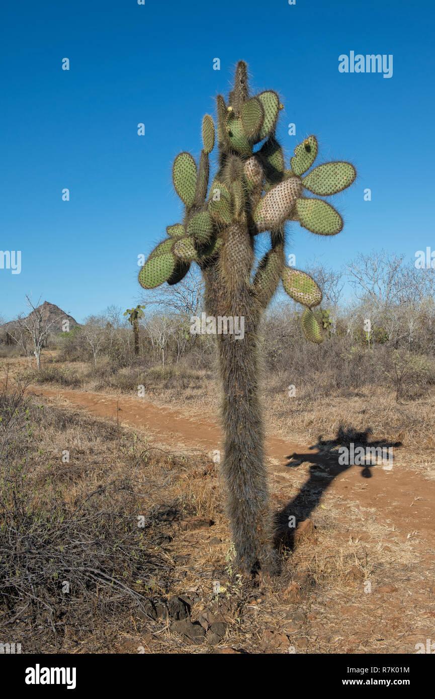 Giant Prickly Pear cactus (Opuntia sp ), Dragon Hill, Santa