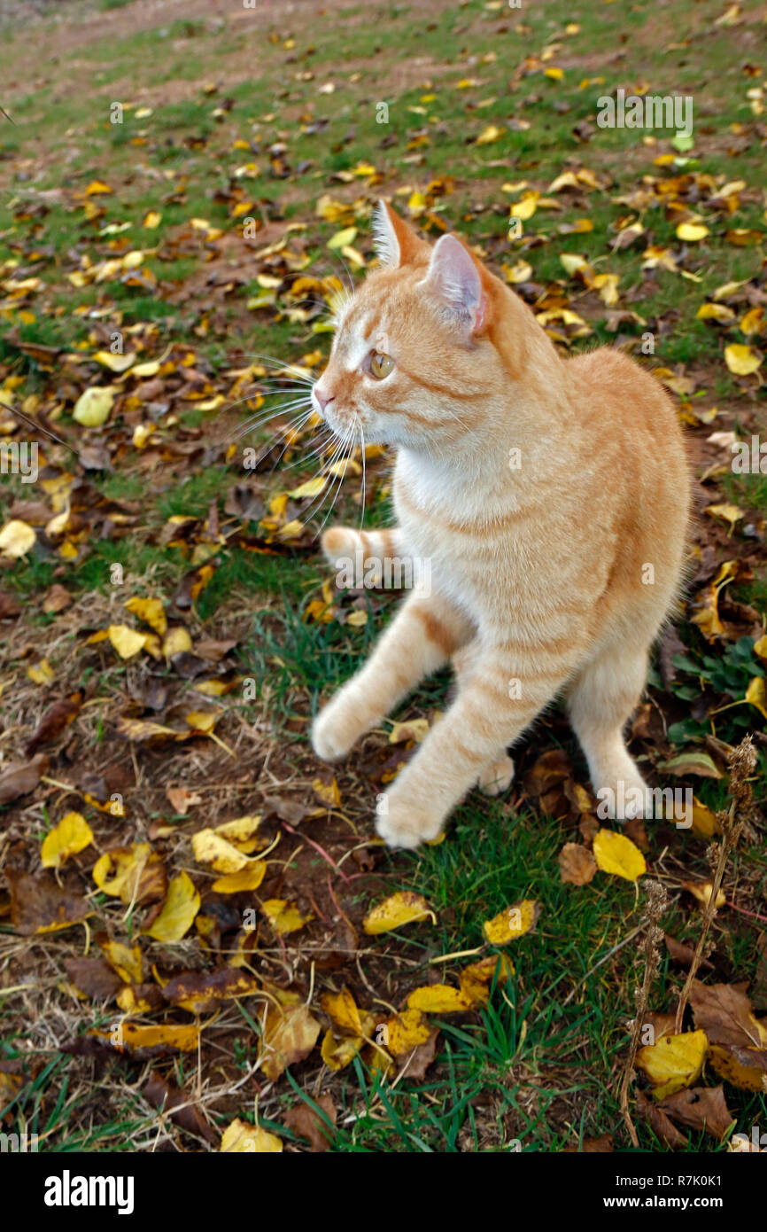 Playful yellow cat playing on the grass among the yellow leaves Stock Photo