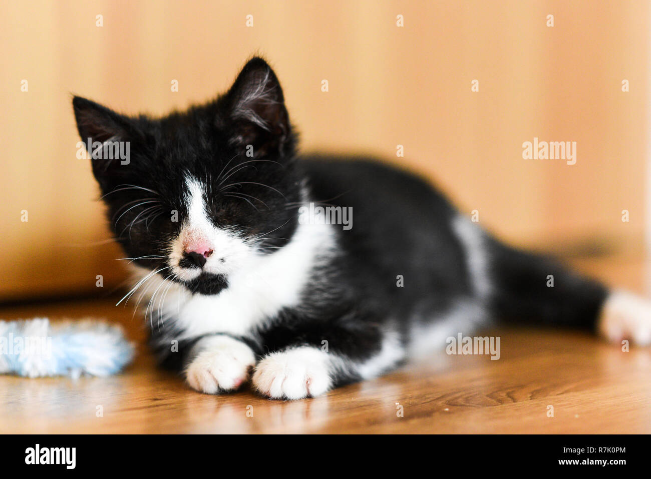 A young and blind cat with removed eyeballs. - Stock Image