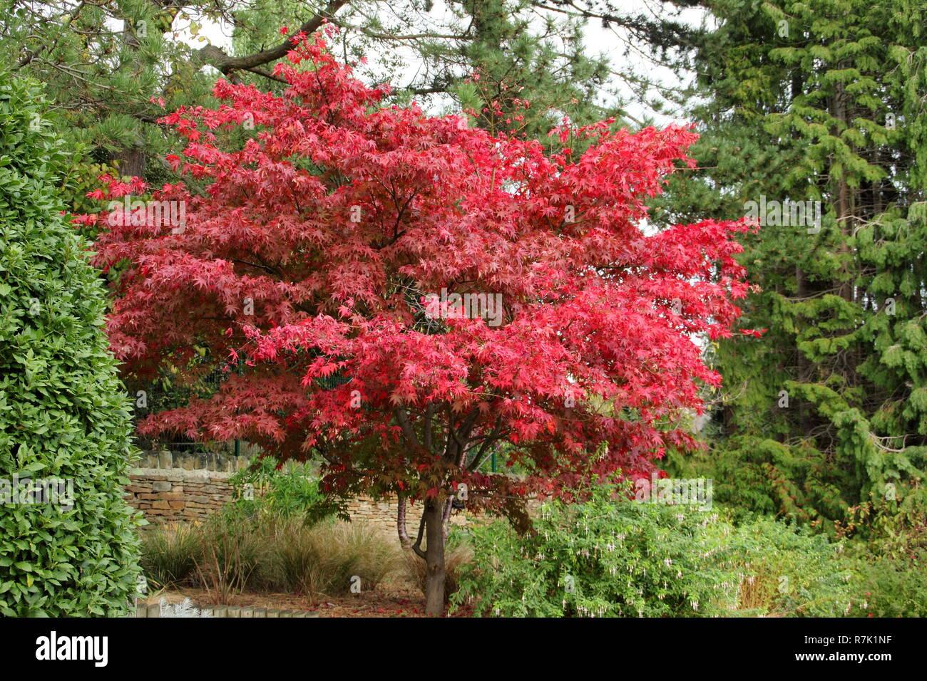 Acer Osakazuki Japanese Maple Tree Displaying Autumn Foliage