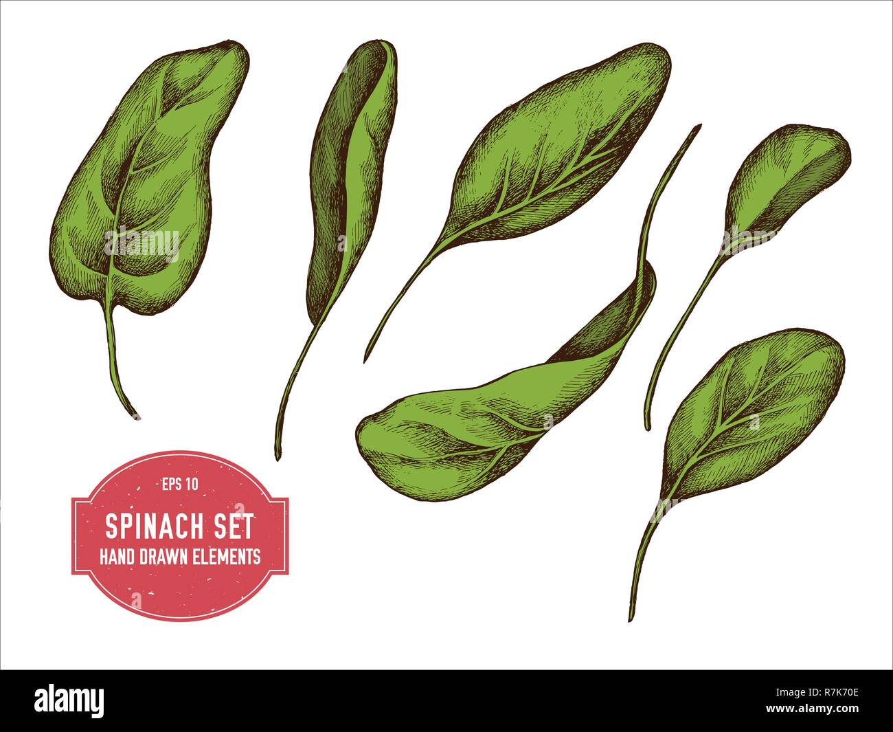 Spinach Stock Vector Images - Alamy