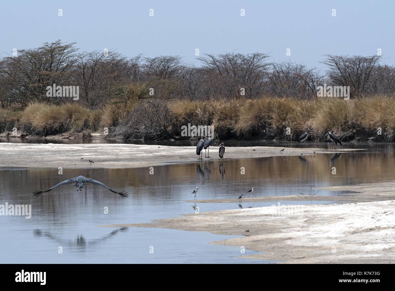 Marabou storks on the Nata River in the Nata Sanctuary, Botswana - Stock Image