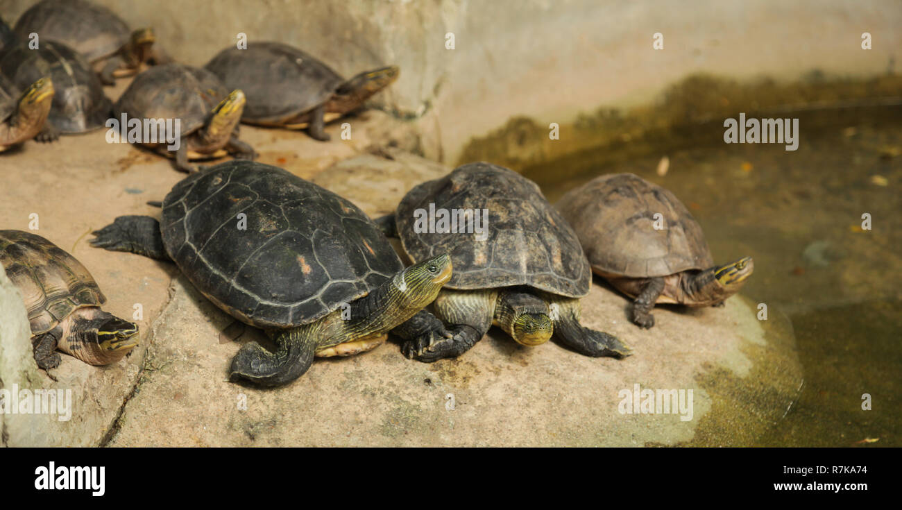 Chinese stripe-necked turtles have series of black yellow stripe from head to neck. Asian Box turtles, yellow stripe lines on neck, can withdraw insid Stock Photo