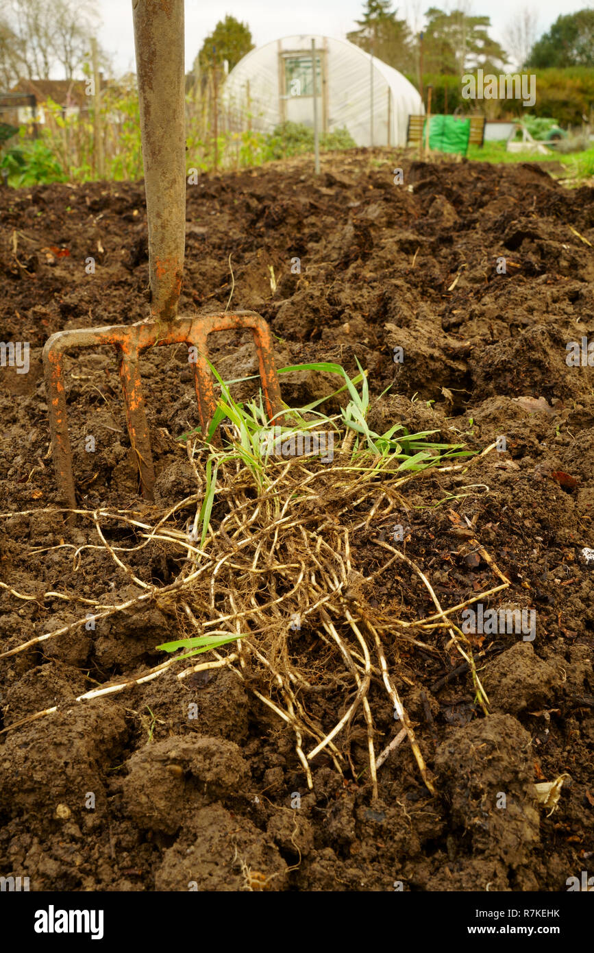 Couch grass roots (rhizomes) dug from a garden - Stock Image