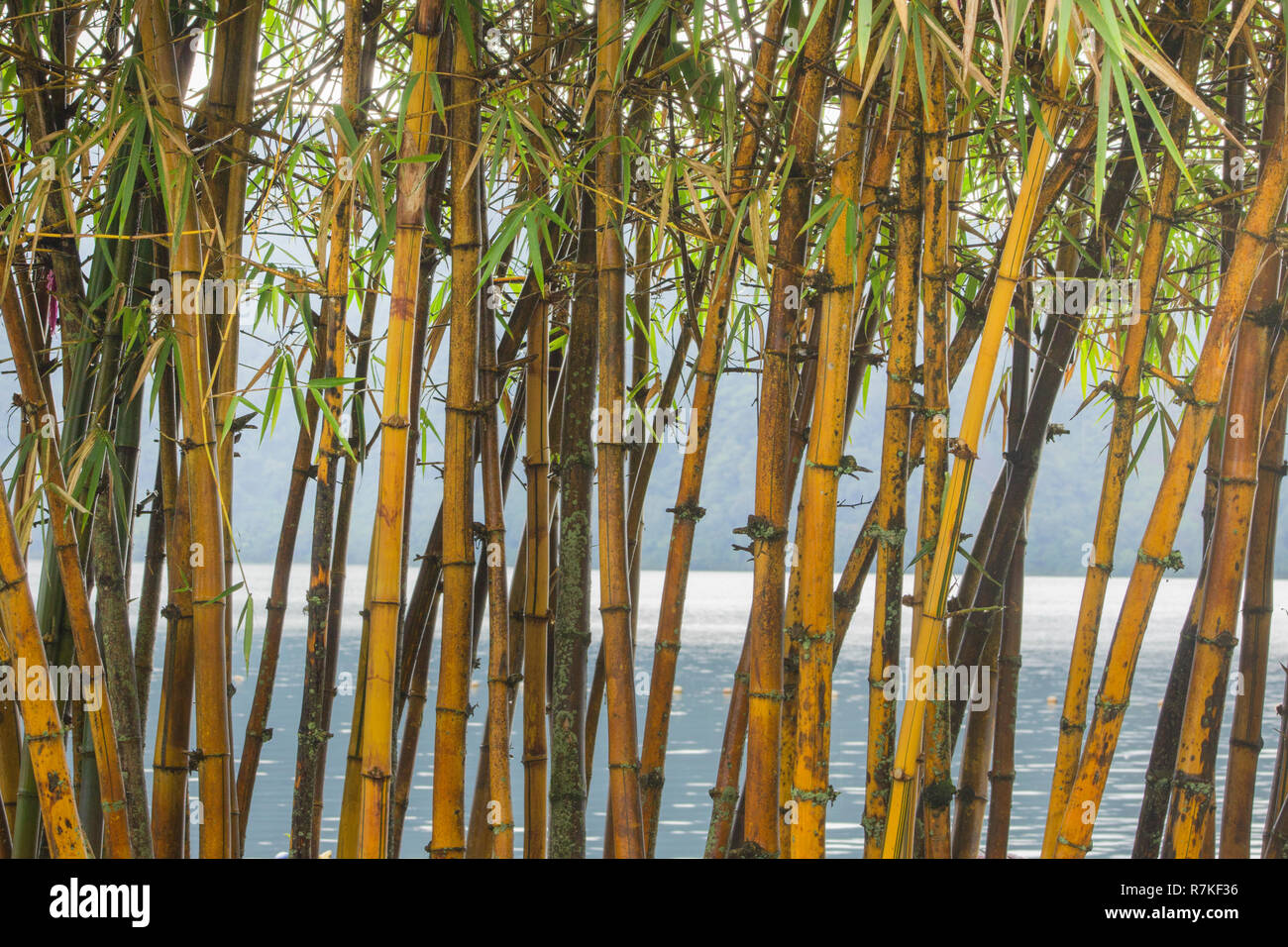 Bamboo stalks form a curtain in front of a large body of water in Bali - Stock Image