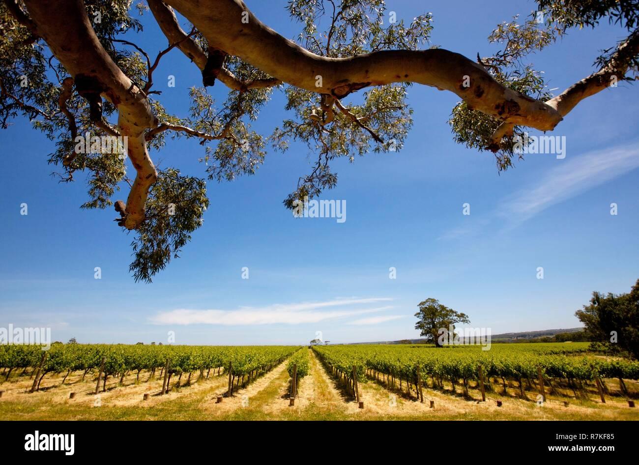 Australia, South Australia, Mac Laren vineyard Stock Photo