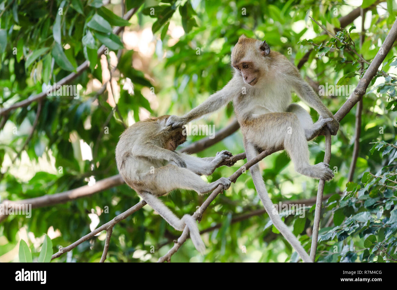 Crab-eating macaque monkey (Macaca Fascicularis) perched on tree and grabbing another one by the head, Railay, Thailand - Stock Image