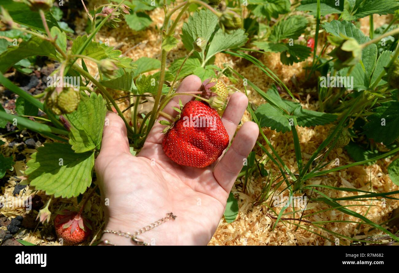 Growing your own fruits and vegetables permaculture way - Stock Image
