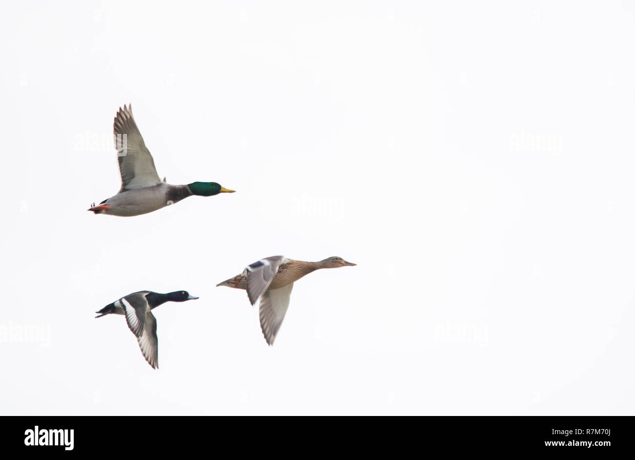 Ducks flying - Stock Image