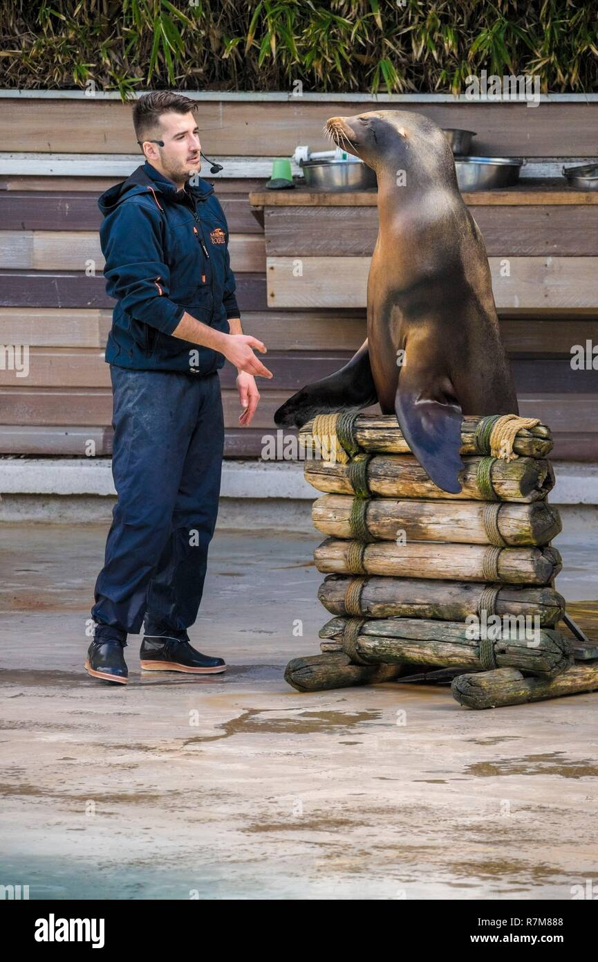 France, Sarthe, La Fleche, La Fleche Zoo, California Sea Lion (Zalophus californianus) during a show, with its keeperotection Status, Locally Protected Species, IUCN Status, Least Concern (LR-lc) - Stock Image
