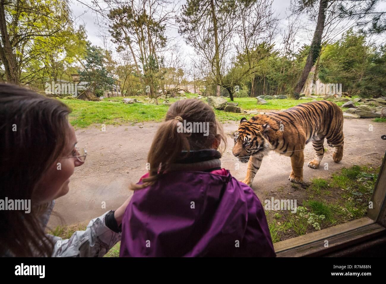 France, Sarthe, La Fleche, La Fleche Zoo, family observation of a Sumatran Tiger (Panthera tigris sumatrae)otection Status, Washington Convention Appendix I A (CITES), IUCN Status, Critical Risk of Extinction (CR) - Stock Image